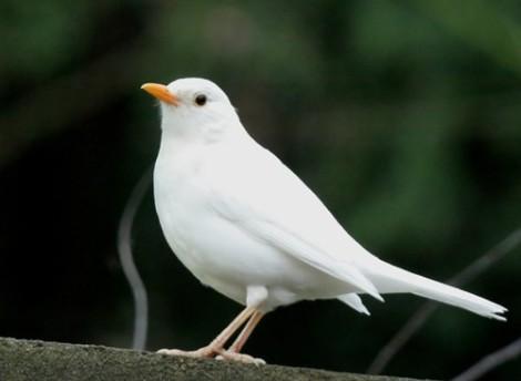 mirlo-blanco
